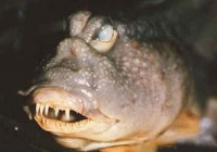 水中怪鱼 地球上竟然有这么丑的怪鱼